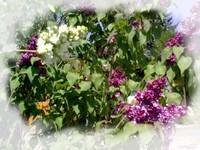 Elixir lilas