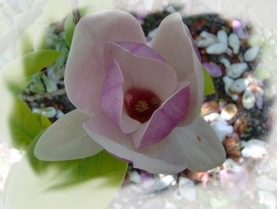 Elixir Magnolia