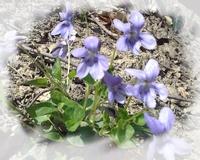 Elixir Violette